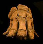 asian elephant front foot