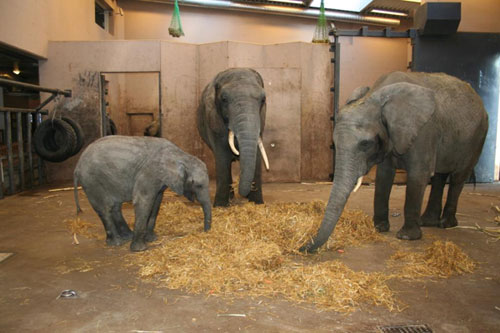 The larger box inside the stable. From left Panza, NYoka and Dudu. Photo: Markus Svedin, Boras Zoo