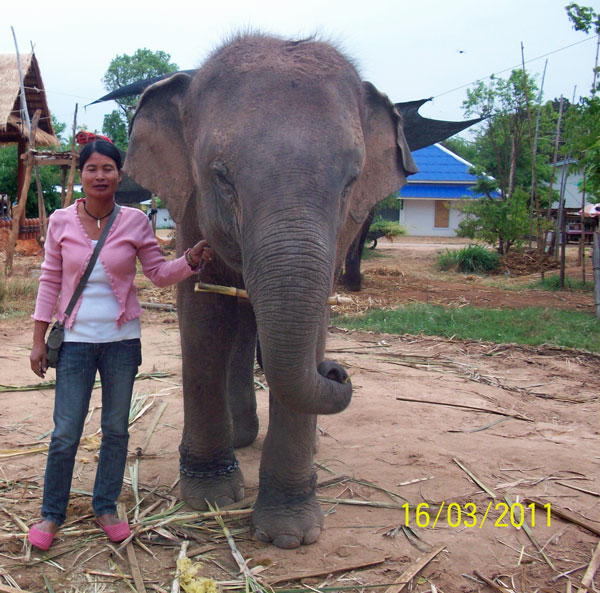 Female ♀ Asian elephant Pạng Nam Petch (พังน้ำเพชร) at Surin elephant study center (Baan Tha Klang Elephant Village)