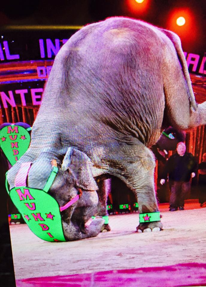 Female ♀ Asian elephant (<em>Elephas maximus</em>) Kato at Circus Mundial (Circo Mundial)