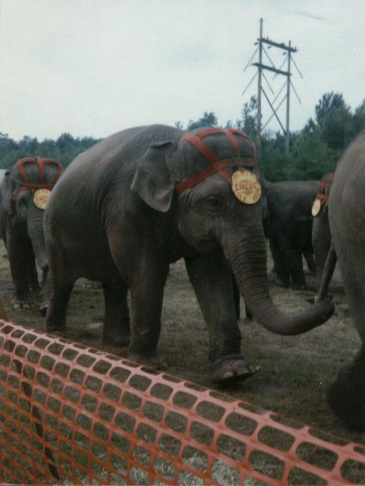 Female Asian elephant Debbie at The Elephant Sanctuary in Tennessee