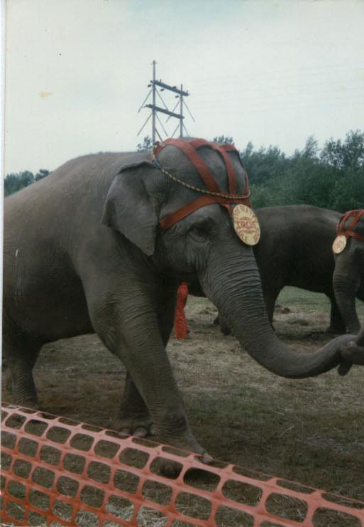 Female ♀ Asian elephant (Elephas maximus) Frieda (Freida, Taffy) at Tennessee Elephant Sanctuary (TES)