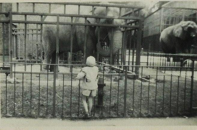 Female Asian elephant K at Copenhagen Zoo (Zoologisk Have)