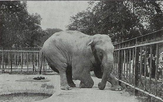 Male Asian elephant Chang at Copenhagen Zoo (Zoologisk Have)