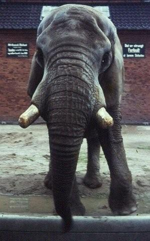 Male African Bush elephant Tembo at Copenhagen Zoo (Zoologisk Have)