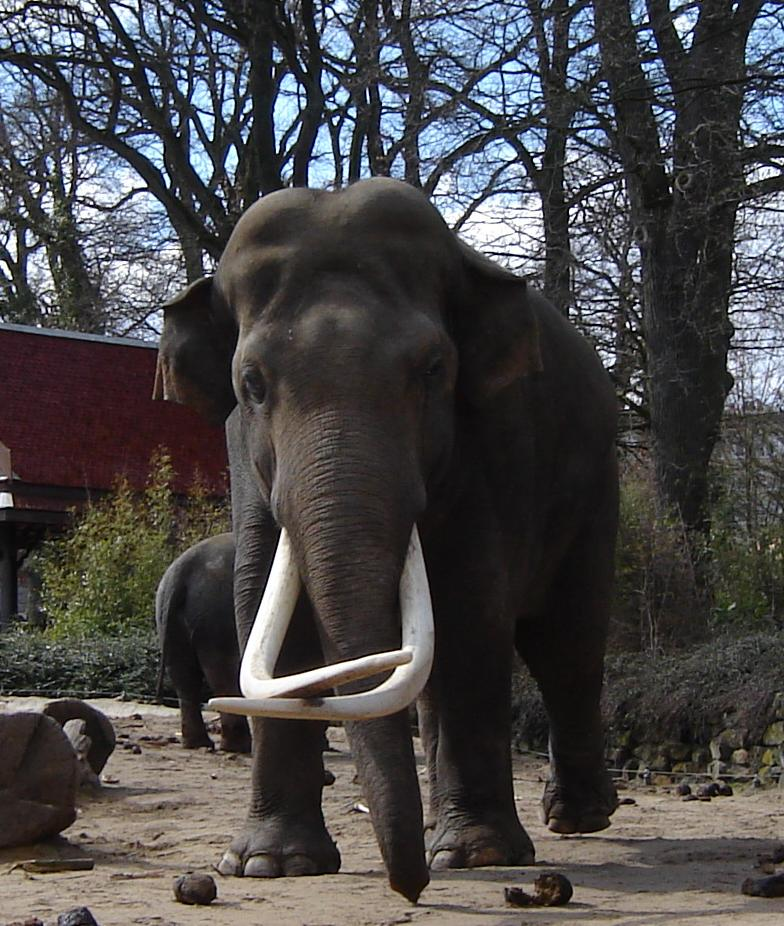 Male ♂ Asian elephant Radsch (Radza, Mysore) at Emmen Zoo
