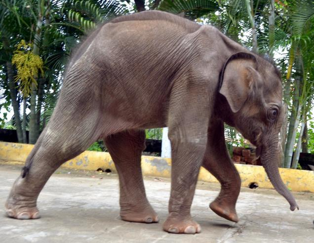 Female Asian elephant unknown at Madras Vandalur Zoo (Arignar Anna Zoological Park)