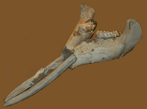 Gomphotherium angustidens lower jaw