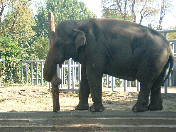 Male ♂ Asian elephant (Elephas maximus) Boy at Kiev Zoo