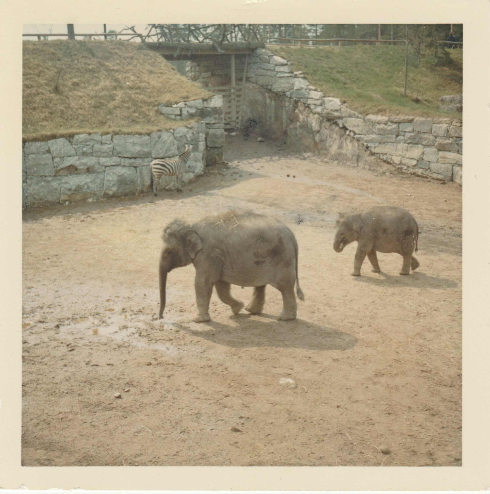 This photo was taken in May 1967 and probably Sandra/Samba?, who is standing in the front of the smaller, younger elephant, which is probably Donkey.Photo: Erland Wadsten, 1967