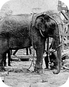 Female Asian elephant Topsy (4-Paw Topsy, Crooked-tail Topsy) at Luna Park
