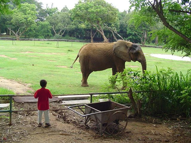 Mysore Zoo is among the few in India exhibiting african elephants, and the only one to breed them.