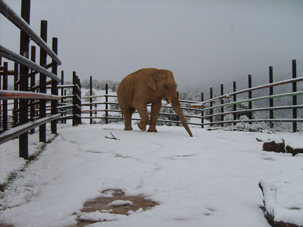 Asian elephant bull Nicholas in the freezing cold enclosure in the winter.
