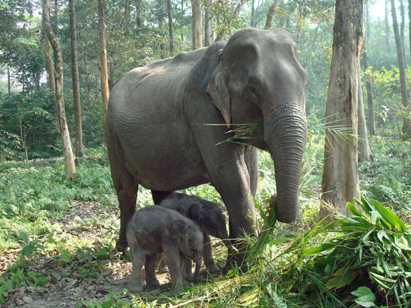 Female ♀ Asian elephant (Elephas maximus) unnamed (twin) at Orang National Park elephant camp