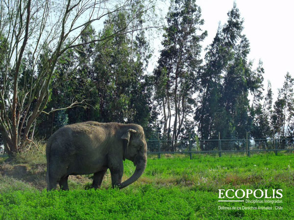 Ramba in Rancagua Safari Park, Jan 7, 2012. Photo © Ecopolis