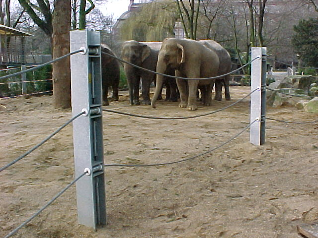 The elephant cows and the electrical fence, 2000.