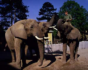 Female African Bush elephant Jumbo at Vienna Zoo (Tiergarten Sch�nbrunn)
