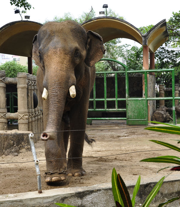 Male ♂ Asian elephant (<em>Elephas maximus</em>) Bo at Saigon Zoo (Ho Chi Minh Zoo)