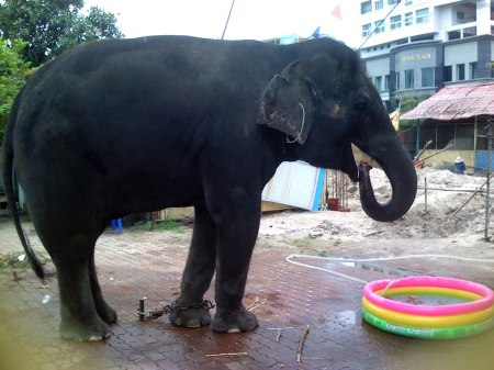 Female ♀ Asian elephant (Elephas maximus) Ny (Ni) at Saigon Zoo (Ho Chi Minh Zoo)