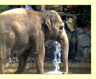 Female ♀ Asian elephant (Elephas maximus) Tinkerbelle at Performing Animal Welfare Society / ARK 2000 (PAWS)