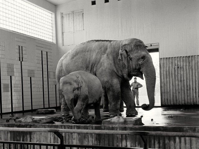 Nika to the left, and Bambina to the right. Bambina was, with almost six tons, probably among the largest Asian female elephants in Europe. At the gate is Skansens first elephant keeper, Sven Borg, who was responsible for the elephants 1930-1975. Photo: 1962 by Göran Schmidt