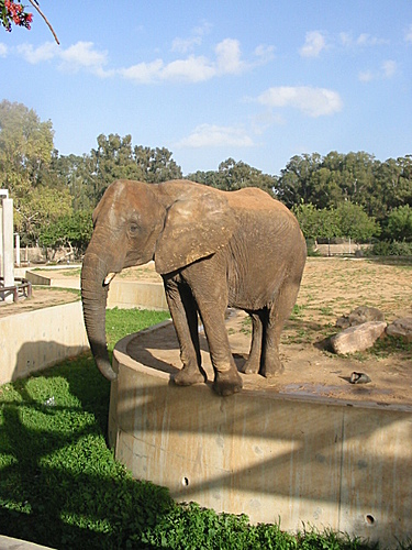 Female ♀ African Bush elephant (Loxodonta africana) unknown at Tripoli Zoo