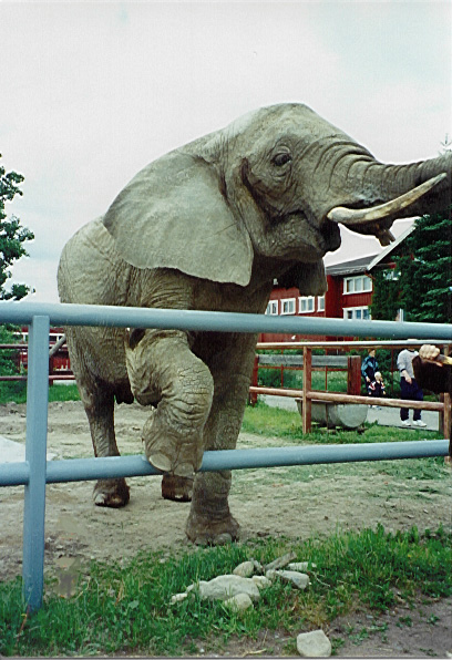 Female ♀ African Bush elephant Vanni at Nikolaev Zoo