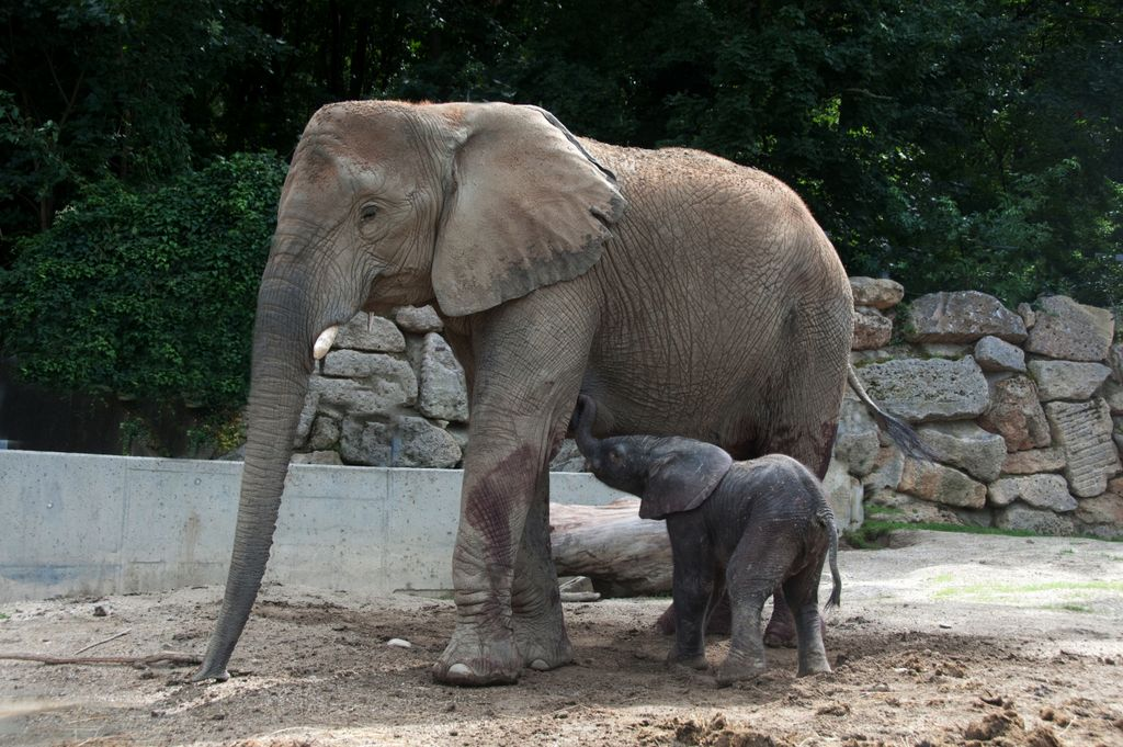 Female African Bush elephant Numbi at Vienna Zoo (Tiergarten Sch�nbrunn)