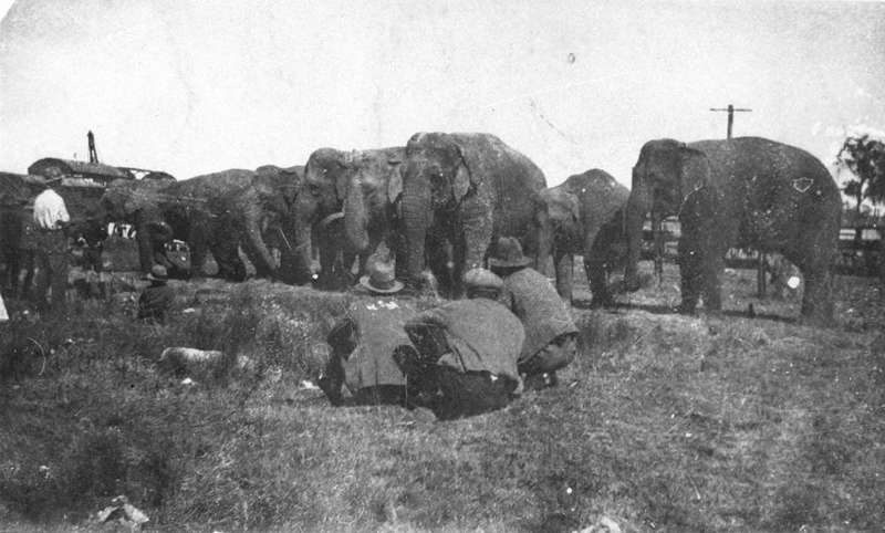 Wirths Circus elephants lined up at Wallangarra, 1928